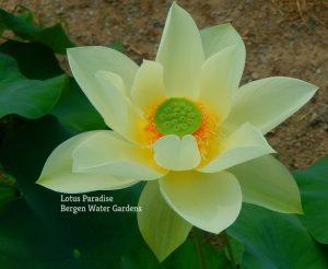 Green Star Lotus