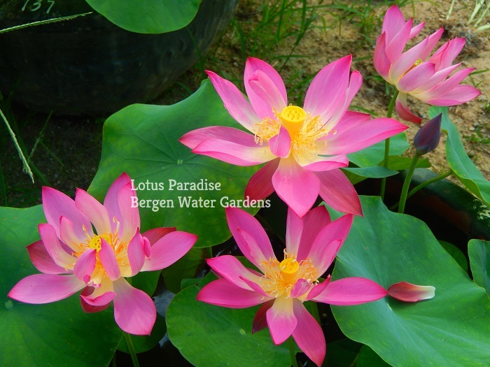 Little Giant Lotus