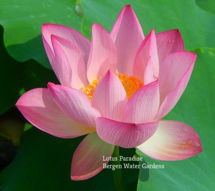 Charming Clouds Lotus