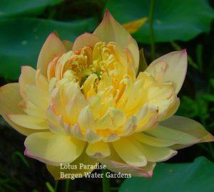 Peach Garden in Autumn Lotus