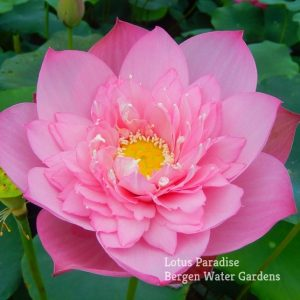 Spring in Peach Garden Lotus
