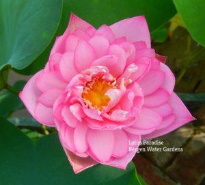Pink Exquisite Lotus