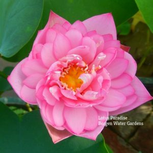 Pink Exquisite Lotus