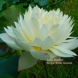 Jade Feather Lotus