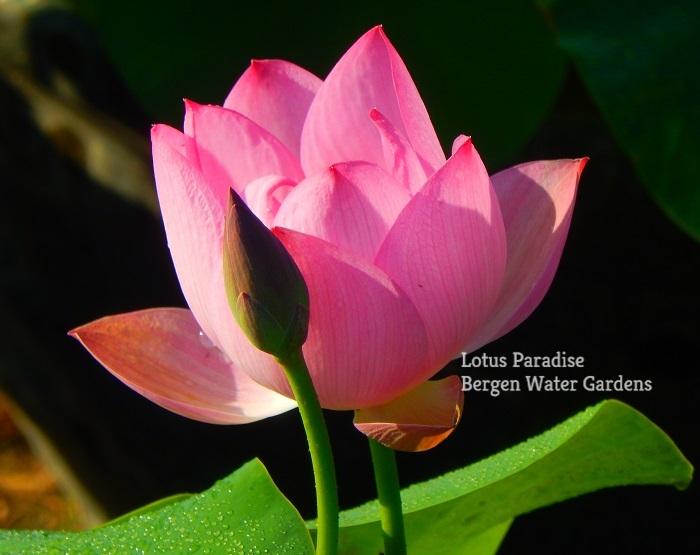 Steel Bloom Lotus