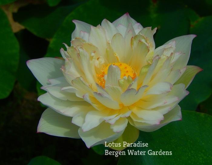 White Beauty Lotus