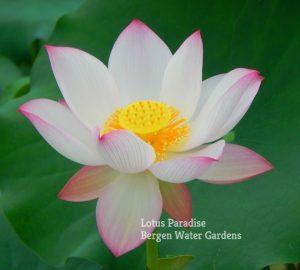 Xiang Melody Lotus