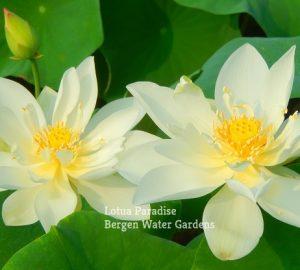 Little Beauty White Lotus