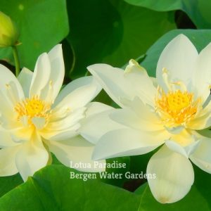 Little Beauty White Lotus