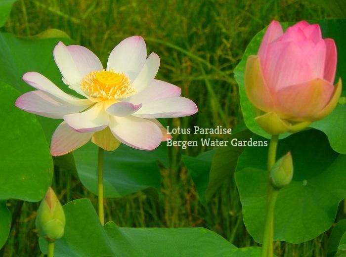 Little Snow Lotus