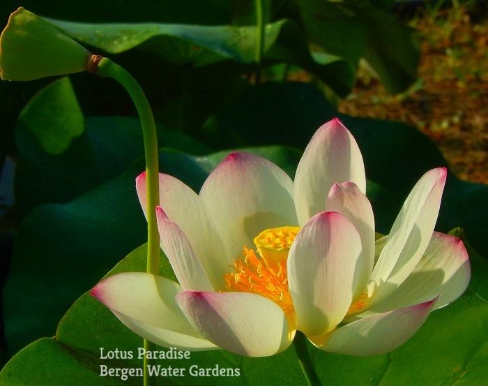 Queen of Caroline Lotus