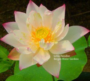 Lanhua Zhi Cheng Lotus