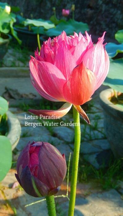Mask Lotus