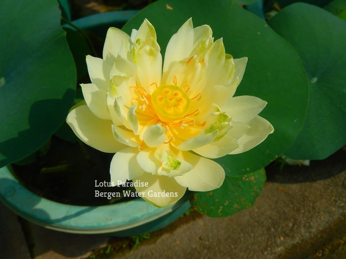 Little Green Lotus
