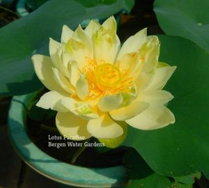 Little Green Lotus
