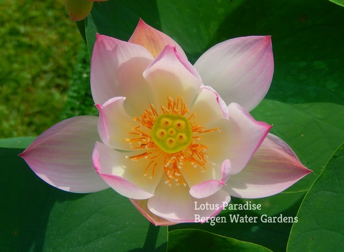 Little Girl Lotus