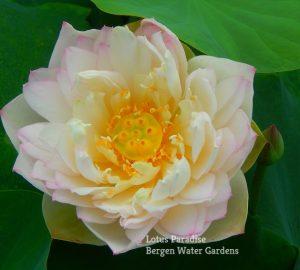 White Crane Lotus