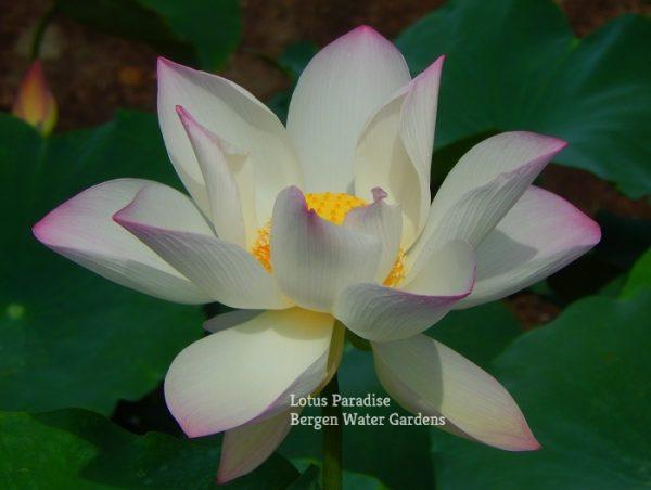 Jian Lian 17 Lotus