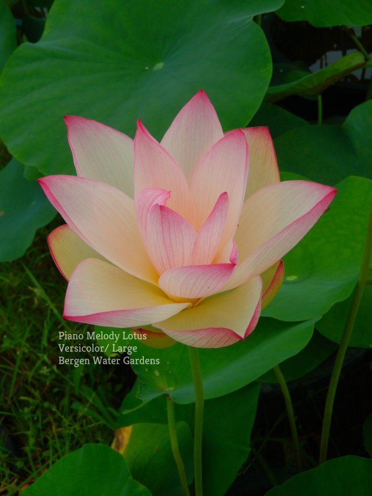 Piano Melody Lotus