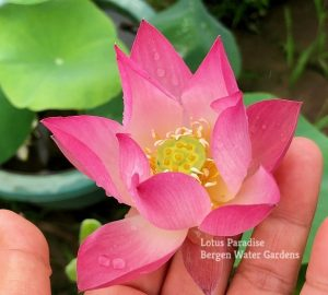 Spring Rain in Linan Lotus