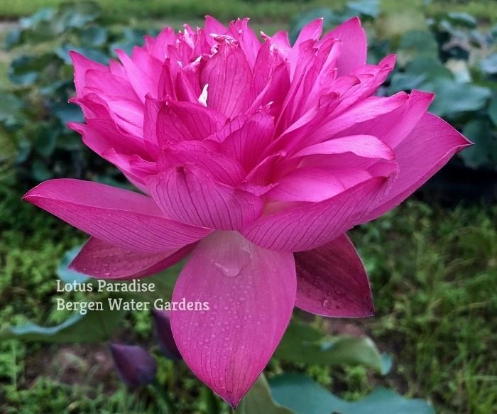 Stone Story Lotus