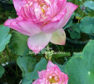 splendid Lotus