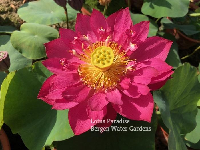 Red Silk Scarf Lotus