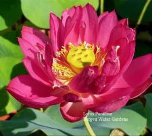 Little Red Lady Lotus