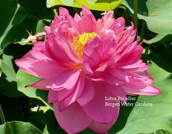 Pink Beauty Lotus