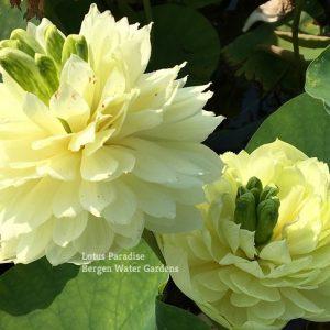 Glory Style Lotus