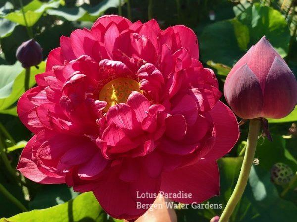 Ruby 15 Lotus