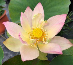 Mist in Zhongshan Lotus