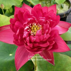 Red Canal Lotus