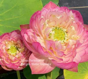 Pink Peach Lotus