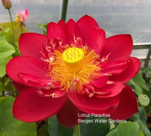 Red and Fire Lotus