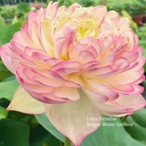 Pink Apple Lotus