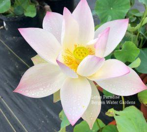 Lanhua Fen Zhi 14 Lotus