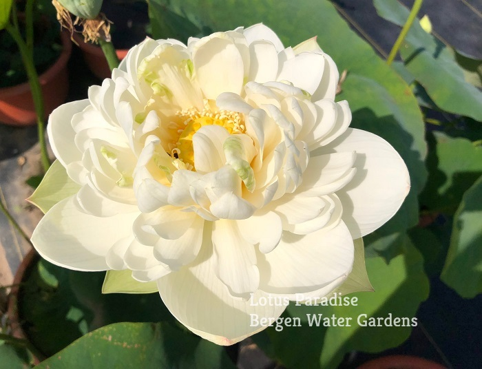 Snow White Lotus