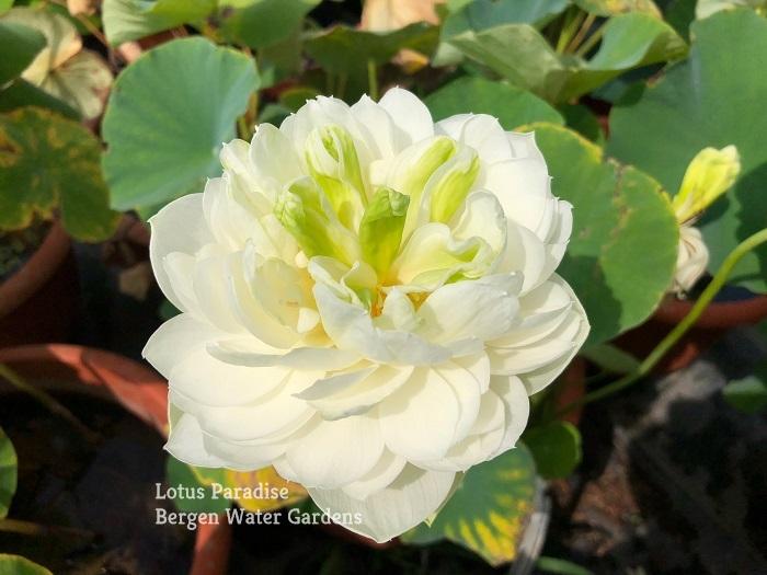 Jade in Qinhuai Lotus