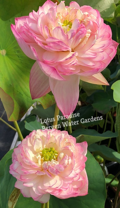 Pink Apple Lotus