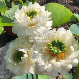 Yi Yi Lotus