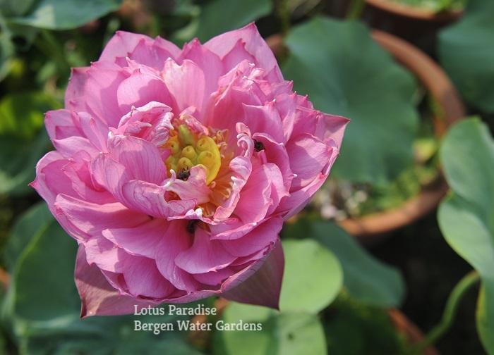 Red Spring Lotus