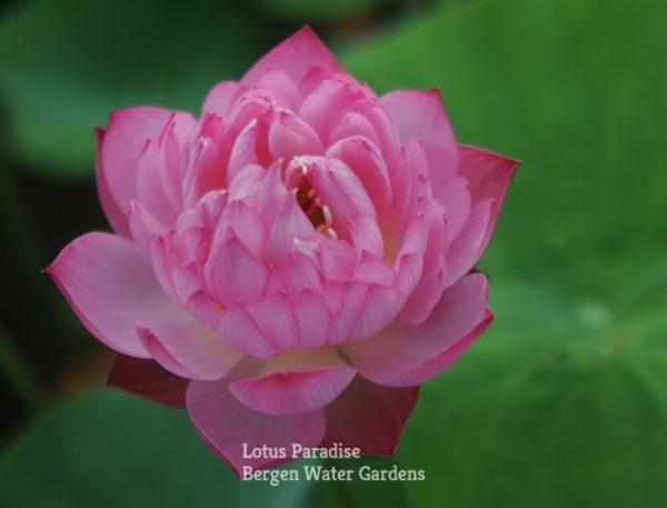Luohan Lotus