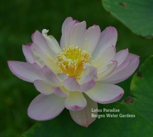 Snow Chrysanthemum Lotus