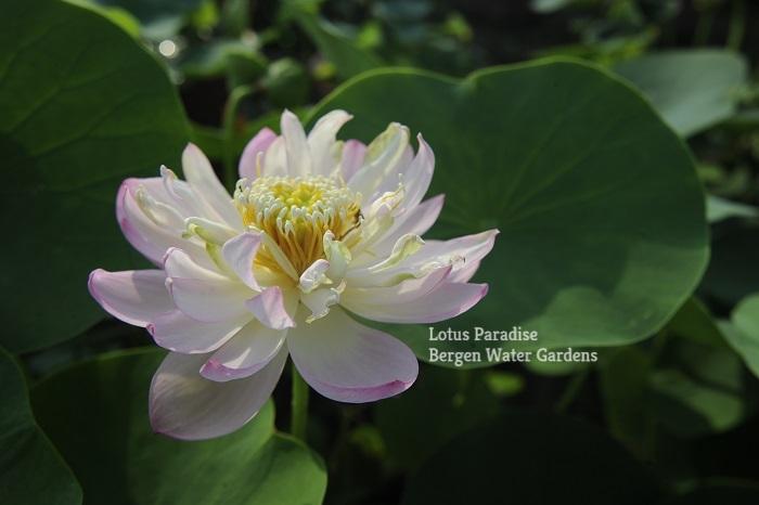 Snow Chrysanthemum Lotus