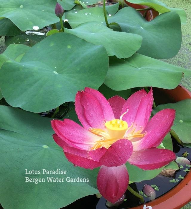 Little Child Lotus