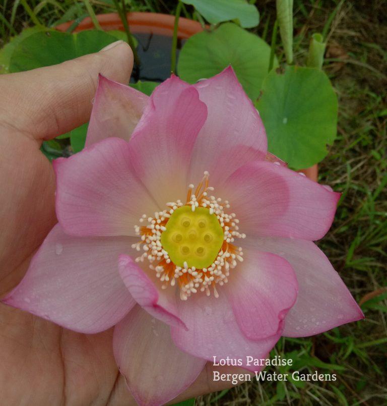 Pink Make up 9 Lotus