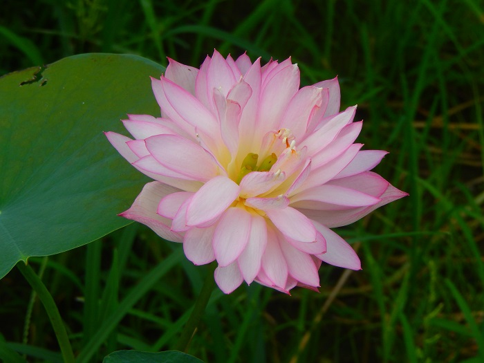 Little Lotus Seat 13 Lotus