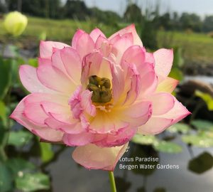 Little Pink Lady Lotus