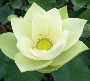 Star of Green Lotus